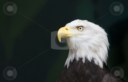 Eagle head Pensive stock photo, An eagles head in a threatened pose against a black background by bobkeenan