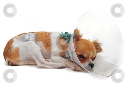 After an operation stock photo, a chihuahua wearing a protective veterinary collar after a surgical operation by Bonzami Emmanuelle