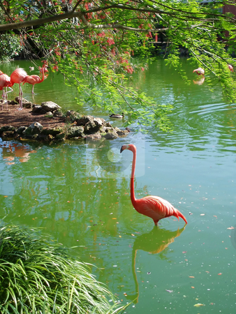 Flamingo stock photo, A flamingo standing in the water with reflection by Lucy Clark