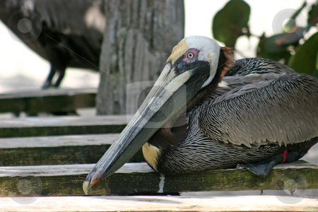 Pelican stock photo, A Pelican resting, perching on some wood. by Lucy Clark