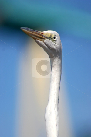 White Bird stock photo, A white bird with a long neck by Lucy Clark