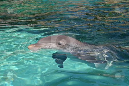 Dolphin stock photo, A dolphin swimming through the blue water by Lucy Clark