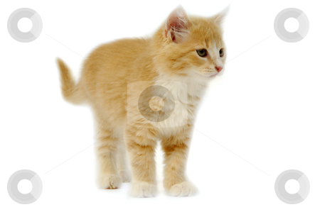 Kitten stock photo, Small kitten is standing on a white background. by Lars Christensen