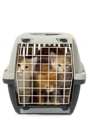 Kittens in transport box isolated on white background stock photo, Kittens in transport box on white background by Lars Christensen