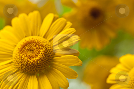 Camomile stock photo, yellow and fresh flower camomile on meadow by Jolanta Dabrowska