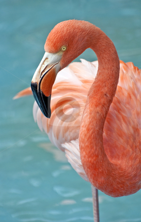 Pink Flamingo. stock photo, Fresh image of a pink flamingo. by Fernando Barozza