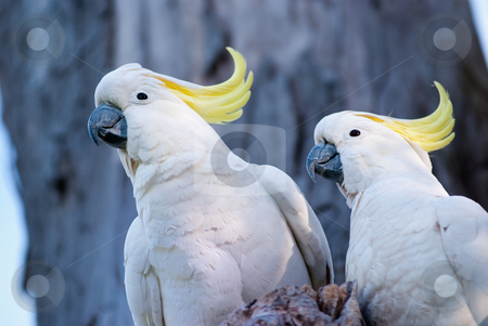 Cockatoos stock photo, Australian birds, a pair of white cockatoo with yellow crest. by mroz
