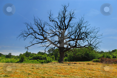 Lonely dry tree stock photo, scenic lonely old dry dead tree on meadow over rural landscape by Julija Sapic