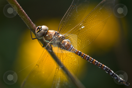 Dragonfly Aeshna mixta or Migrant hawker stock photo, Dragonfly Aeshna mixta or Migrant hawker resting on flowerstalk with bokeh from yellow flowers by Colette Planken-Kooij