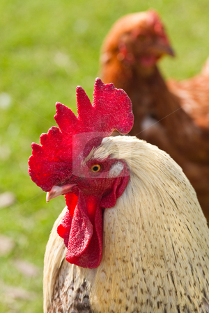 Rooster and chicken stock photo, Close up of rooster and chicken with green grass background by Colette Planken-Kooij