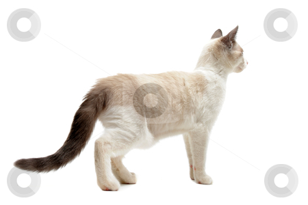 Back view of Siamese kitten stock photo, back view of  purebred siamese kitten in front of white background by Bonzami Emmanuelle