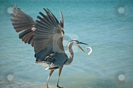 Great Blue Heron Tossing a Fish in the Air stock photo, A Great Blue Heron tosses a fish that it has caught into the air on a Florida beach. by Brian Guest