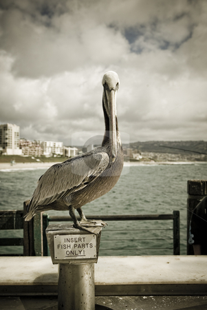 Pelican sitting at a pole in San Pedro, CA stock photo, A bird dozing off on a pole at the beach  by dphotographix
