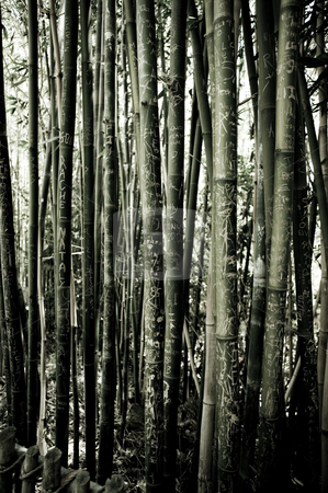 Tatooed bamboo forest stock photo, graffiti on the bamboo trees by dphotographix