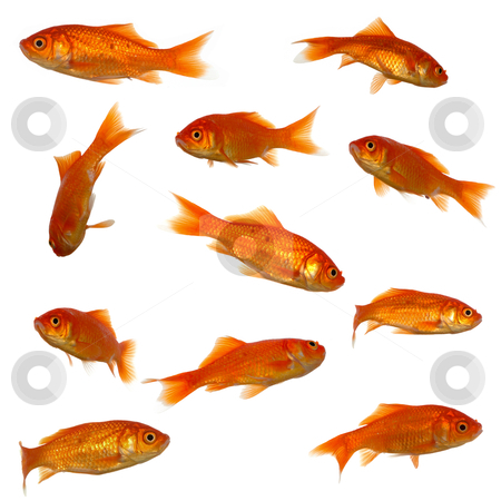 Many goldfish stock photo, Collection of goldfish. High resolution 4000 x 4000 pixels. On clean white background. by Lars Christensen