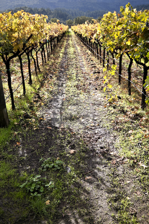 Vineyard Path stock photo, A pathway between two rows of grape vines by Kevin Tietz