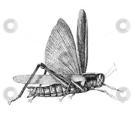 "Grasshopper stock photo, Grasshopper. Illustration originally published in Ernst von Hesse-Wartegg's ""Nord Amerika"", swedish edition published in 1880.  by Stocksnapper"