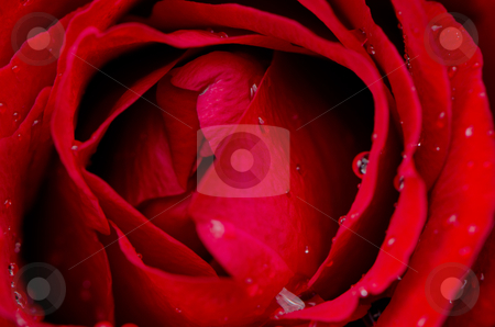 Red rose flower stock photo, Red rose flower background, top view closeup. by Homydesign