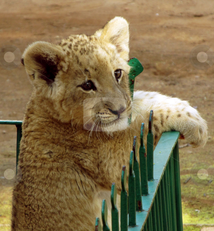 Close-up of small Lion cub stock photo, Close-up picture of small Lion cub behind low fence by Snap2Art