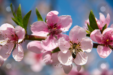 Blooming peach tree on blue sky background stock photo, Blooming peach tree on blue sky background by kostiuchenko
