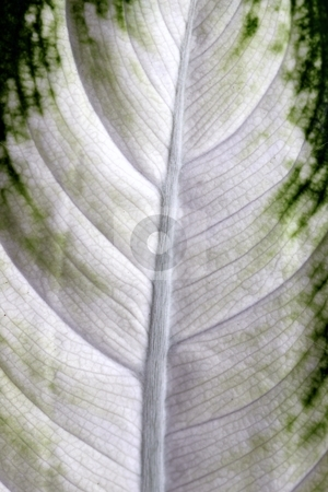 Camille leaf stock photo, close up macro of a white and green camille leaf by Henrik Lehnerer