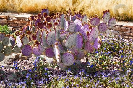 Purple Cactus Blue Flowers Desert Botanical Garden Phoenix Arizo stock photo, Purple Cactus Blue Flowers Desert Botanical Garden Papago Park Sonoran Desert Phoenix Arizona by William Perry