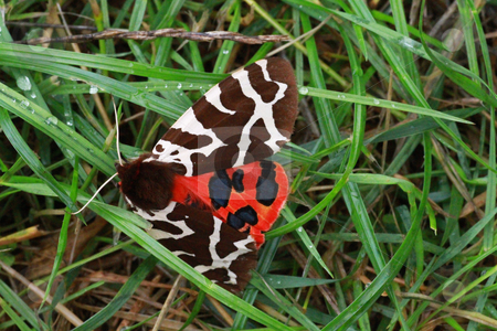 Garden tiger moth stock photo, garden tiger moth by detseven