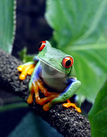 Red-Eyed Tree Frog stock photo, A Red-Eyed Tree Frog (Agalychnis callidryas) sitting along a vine in its tropical setting.  by macropixel