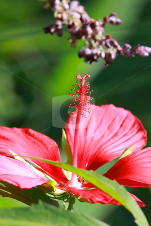 Hibiscus stock photo, Close up shot of hibiscus flower on a plant by Sreedhar Yedlapati