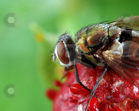 Fly on wild strawberry stock photo, A macro shot of a fly on a wild strawberry. Shot taken with a 100mm macro lens and extension tubes. by macropixel