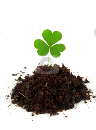 Shamrock stock photo, A single clover grows in a pile of soil shot on a white background. by macropixel