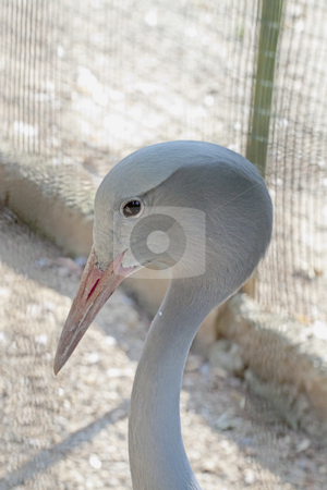 Crane bird stock photo, Head of a strange kind of crane bird by Fabio Alcini