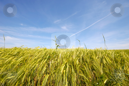 Corn stock photo, Corn and clear blue sky by Lars Christensen
