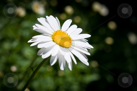 Daisy in the Sun stock photo, A single sunlit daisy against a green background. by Brian Guest