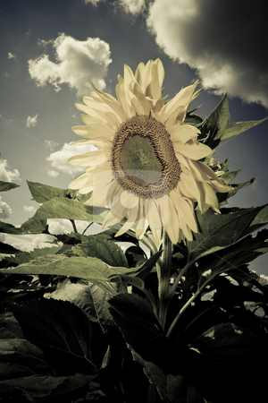 Vintage sunflower stock photo, sunflower in a sunny day during summer by michal812