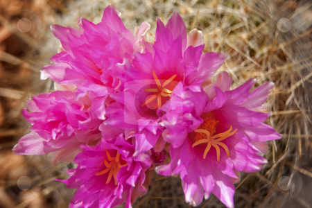 Pink Cactus Flowers Sonoran Desert Phoenix Arizona stock photo, Pink Cactus Flowers Blossoms Sonoran Desert Botanical Garden Papago Park Phoenix Arizona by William Perry