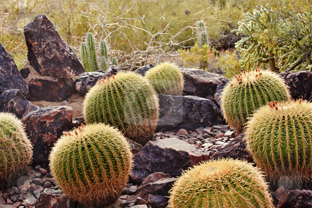 Golden Barrel Cactuses Desert Botanical Garden Phoenix Arizona stock photo, Golden Barrel Cactuses, Echinocactus, Desert Botanical Garden Papago Park Sonoran Desert Phoenix Arizona by William Perry