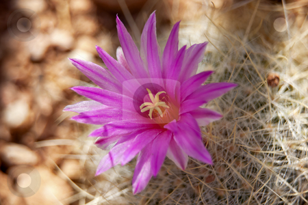 Pink Cactus Flower Sonoran Desert Phoenix Arizona stock photo, Pink Cactus Flower Blossum Sonoran Desert Botanical Garden Papago Park Phoenix Arizona by William Perry