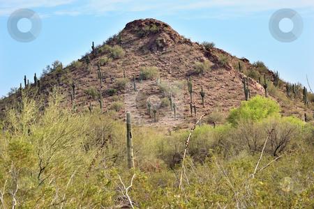 Saguaro Cactus Desert Botanical Garden Phoenix Arizona stock photo, Saguaro Cactus Carnegiea Gigantea, Desert Botanical Garden Papago Park Sanoran Desert Phoenix Arizona by William Perry