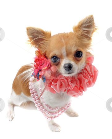Chihuahua with pearl collar stock photo, portrait of a cute purebred chihuahua with pearl collar in front of white background by Bonzami Emmanuelle
