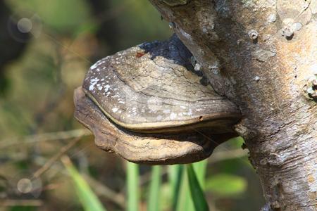Fungus on Tree stock photo, Mushroom like fungus growing from bark of tree. by Marburg