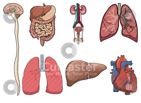 organs in digestive system. heart, digestive system