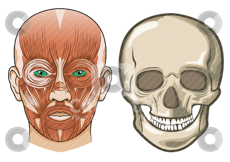 Human facial anatomy and skull in Vector stock vector clipart, Human facial anatomy and skull in Vector by Shamsul Ismin Tumin