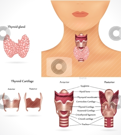 Thyroid gland stock vector clipart, Thyroid gland and trachea. Isolated white background. The thyroid gland produce thyroid hormones. by megija
