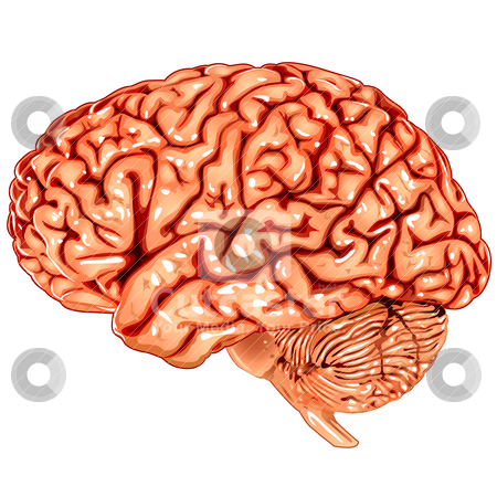 Human brain lateral view stock vector clipart, Illustration body part vector, human brain lateral view by Ilenia Pagliarini