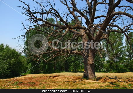 Lonely dry tree stock photo, scenic lonely old dry dead tree on meadow over rural landscape in Serbia by Julija Sapic