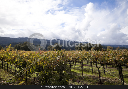 Napa Valley stock photo, A row of grape vines used for making wine by Kevin Tietz