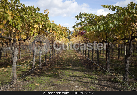 Grapevines stock photo, A row of grape vines used for making wine by Kevin Tietz