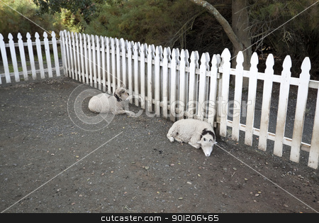 Horned Sheep stock photo, Two sleeping horned sheep by a white picket fence by Kevin Tietz