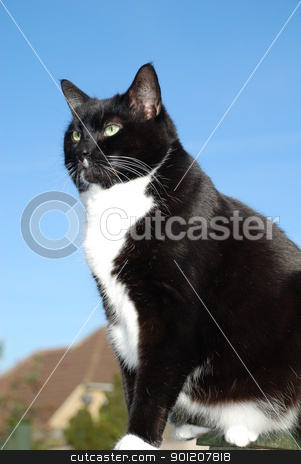 Black and white cat stock photo, Portrait of a black and white cat sitting on a garden fence, against a blue sky background. by newsfocus1